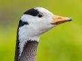 Streifengans, Bar-headed Goose, Anser indicus, Oie à tête barrée, Ánsar Indio