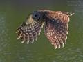 Streifenkauz, Barred Owl, Strix varia