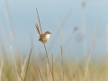 Streifenprinie, Graceful Warbler, Graceful Prinia, Prinia gracilis, Prinia gracile, Alzacola Grácil