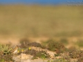 Stummellerche, Lesser Short-toed Lark, Calandrella rufescens, Alouette pispolette, Terrera Marismeña