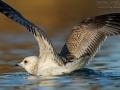 Sturmmöwe, Mew Gull, Larus canus
