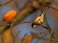 Sumpfmeise, Marsh Tit, Parus palustris, Mésange nonnette, Carbonero Palustre