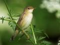 Sumpfrohrsänger, Marsh Warbler, Acrocephalus palustris, Rousserolle verderolle, Carricero Políglota