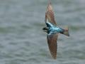 Sumpfschwalbe, American Tree Swallow Tree Swallow, Tachycineta bicolor, Hirondelle bicolore, Golondrina Arbórea