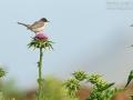 Tamariskengrasmücke, Menetries's Warbler, Menetries' Warbler, Sylvia mystacea, Fauvette de Ménétries, Curruca Caucásica