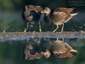 Teichhuhn, Teichralle, Moorhen, Common Moorhen, Gallinula chloropus, Gallinule poule-d'eau, Poule d'eau, Gallineta Común