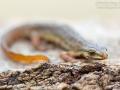 Teichmolch / Smooth Newt / Lissotriton vulgaris