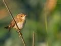 Teichrohrsänger, Reed Warbler, Eurasian Reed Warbler, Eurasian Reed-Warbler,  Acrocephalus scirpaceus, Rousserolle effarvatte, Carricero Común_7d_11420