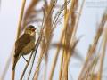 Teichrohrsänger, Reed Warbler, Eurasian Reed Warbler, Eurasian Reed-Warbler,  Acrocephalus scirpaceus, Rousserolle effarvatte, Carricero Común