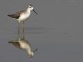 Teichwasserläufer, Marsh Sandpiper, Tringa stagnatilis, Chevalier stagnatile, Archibebe Fino