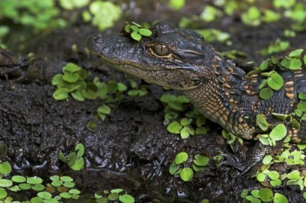 mississippi-alligator_30d_08644