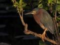 mangrovereiher_30d_03705