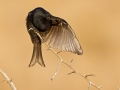 Trauerdrongo, Fork-tailed Drongo, Dicrurus adsimilis