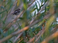 Trauerschnäpper, Pied Flycatcher, European Pied Flycatcher, Ficedula hypoleuca, Gobemouche noir, Gobe-mouche noir, Papamoscas Cerrojillo
