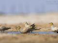 Tropfenflughuhn, Spotted Sandgrouse, Pterocles senegallus, Ganga tacheté, Ganga Moteada