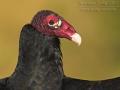 Truthahngeier, Turkey Vulture, Cathartes aura
