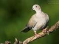 Türkentaube, Collared Dove, Eurasian Collared-Dove, Eurasian Collared Dove, Streptopelia decaocto, Tourterelle turque, Tórtola Turca