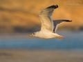 Tundramöwe, Siberian Gull, Kola Lesser Black-backed Gull, Heuglin's Gull, Larus fuscus heuglini, Larus heuglini, Goéland de Sibérie, Gaviota Siberiana