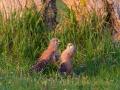 Turmfalke, Eurasian Kestrel, Falco tinnunculus