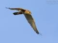 Turmfalke, Common Kestrel, Kestrel, Eurasian Kestrel, Falco tinnunculus, Faucon crécerelle, Cernícalo Vulgar