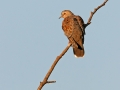 Turteltaube, Turtle Dove, European Turtle Dove, European Turtle-Dove, Streptopelia turtur, Tourterelle des bois, Tórtola Europea, Tórtola Común