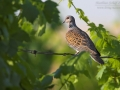 Turteltaube, Turtle Dove, European Turtle Dove, European Turtle-Dove, Streptopelia turtur, Tourterelle des bois, Tórtola Europea, Tórtola Común