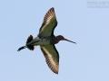 Uferschnepfe, Black-tailed Godwit, Limosa limosa, Barge à queue noire, Aguja Colinegra