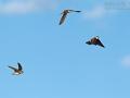 Uferschwalbe, Sand Martin, Bank Swallow, Riparia riparia, Hirondelle de rivage, Avión Zapador