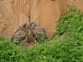 Uhu, Eagle Owl, Northern Eagle Owl, Eurasian Eagle-Owl, Bubo bubo, Grand-duc d'Europe, Hibou grand-duc, Búho Real