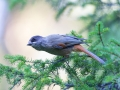 Unglückshäher, Siberian Jay, Perisoreus