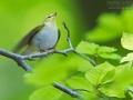 Waldlaubsänger, Wood Warbler, Phylloscopus sibilatrix