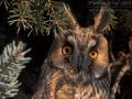 Waldohreule, Long-eared Owl, Asio otus, Hibou moyen-duc, Búho Chico