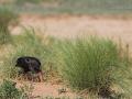 Waldrapp, Northern Bald Ibis, Waldrapp, Geronticus eremita, Ibis chauve, Ibis Eremita