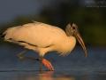 Waldstorch, American Wood Ibis, Wood Stork, Mycteria americana