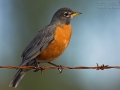 Wanderdrossel, American Robin, Turdus migratorius, Merle d'Amérique, Merle migrateur, Robín Americano