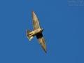 Wanderfalke, Peregrine Falcon, Peregrine, Falco peregrinus, Faucon pèlerin, Halcón Peregrino