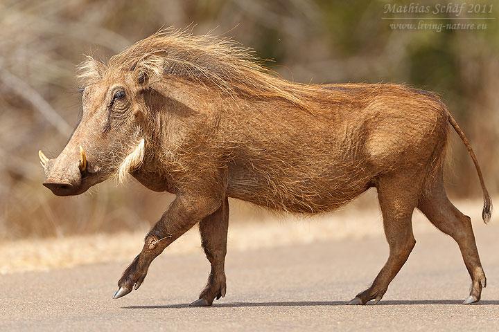 Warzenschwein Warthog Phacochoerus Africanus Living