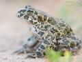 Wechselkröte / European Green Toad / Bufo viridis