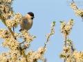 Weidenmeise, Willow Tit, Parus montanus