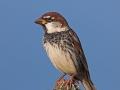 Weidensperling, Spanish Sparrow, Passer hispaniolensis, Moineau espagnol, Gorrión Moruno