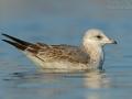 Sturmmöwe, Common Gull, Mew Gull, Larus canus, Goéland cendré, Gaviota Cana