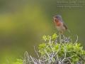 Weißbart-Grasmücke, Weißbartgrasmücke, Subalpine Warbler, Sylvia cantillans, Fauvette passerinette, Curruca Carrasqueña