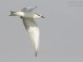Weissbartseeschwalbe_1DX2_013809