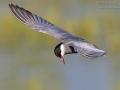 Weissbartseeschwalbe_7D2_025520