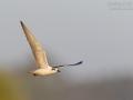 Weissbartseeschwalbe_7D2_052458