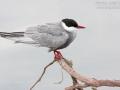 Weißbart-Seeschwalbe, Weißbartseeschwalbe, Whiskered Tern, Chlidonias hybridus, Chlidonias hybrida, Guifette moustac, Fumarel Cariblanco