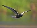 Weißflügel-Seeschwalbe, Weißflügelseeschwalbe, White-winged Black Tern, White-winged Tern, Chlidonias leucopterus, Chlidonias leucoptera, Guifette leucoptère, Fumarel Aliblanco