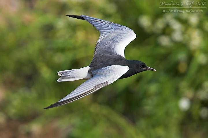 Weiflgelseeschwalbe White winged Black Tern