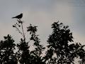Weißkehlsänger, White-throated Robin, Irania, Irania gutturalis, Iranie à gorge blanche, Petirrojo Turco