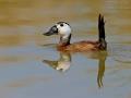Weißkopf-Ruderente, Weißkopfruderente, White-headed Duck, Oxyura leucocephala, Erismature à tête blanche, Malvasía Cabeciblanca